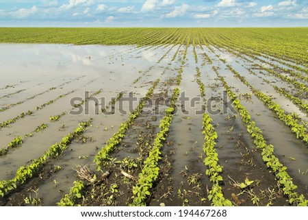 Agricultural disaster, flooded soybean crops. - stock photo