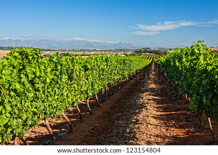 agricultural farmland with rows of grape vines in a landscape of blue sky and distant mountains