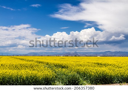 Agricultural field of blooming yellow canola seed on sunny summer day with dramatic white clouds - stock photo