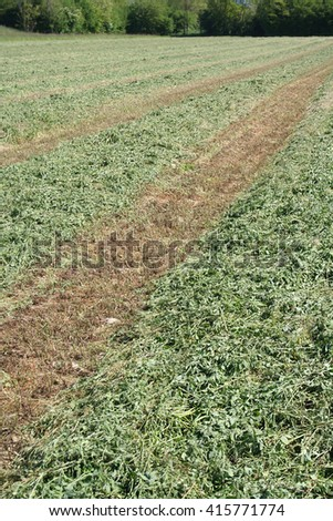 Agricultural field on a farm of cut alfalfa in rows - stock photo