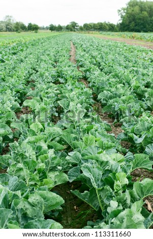 Agricultural field with rows of green cabbage - stock photo