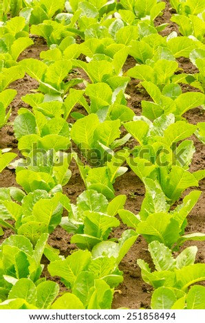 Agricultural industry. Growing green vegetable on field - stock photo