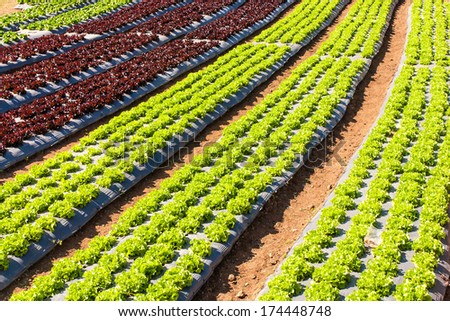 Agricultural industry. Growing salad lettuce on field - stock photo