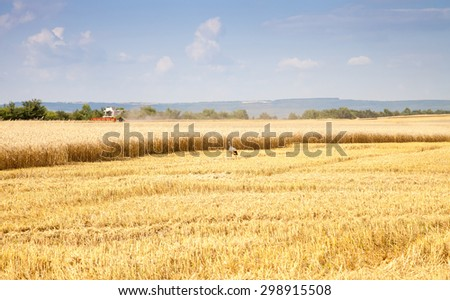 Agricultural landscape - harvesting wheat and storks - stock photo
