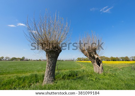 Agricultural landscape in Holland with willows and rape seed - stock photo