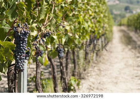 agricultural landscape in Italy with a beautiful vineyard for wine production; - stock photo