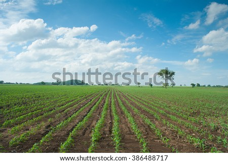 Agricultural landscape of young corn field