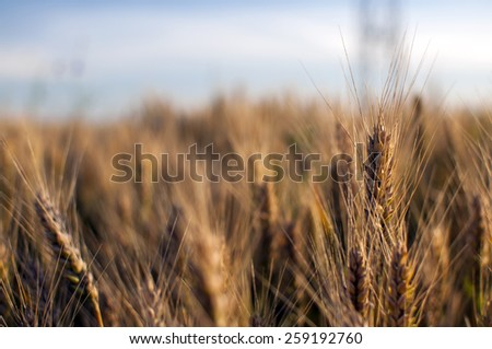 Agricultural landscape showing golden ripe wheat field  on a sunny day against blue sky - stock photo