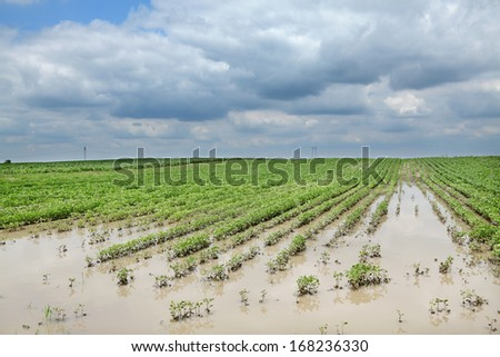Agricultural natural disaster, flooded soy field  in spring - stock photo