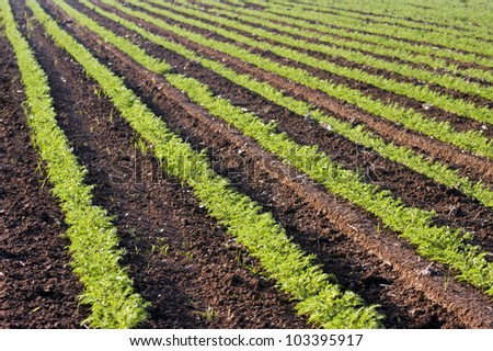 Agricultural Photos of Green Crops growing in a field