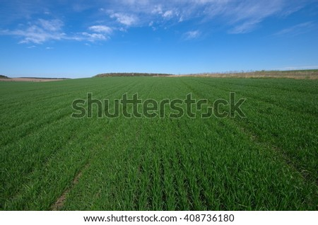 Agricultural rural background. Panoramic view to spring landscape in sunny day with a field of green winter wheat seedlings and blue sky.  - stock photo
