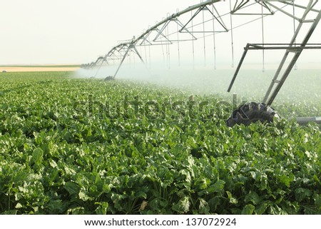 Agricultural sprinklers watering a field of sugar beets - stock photo