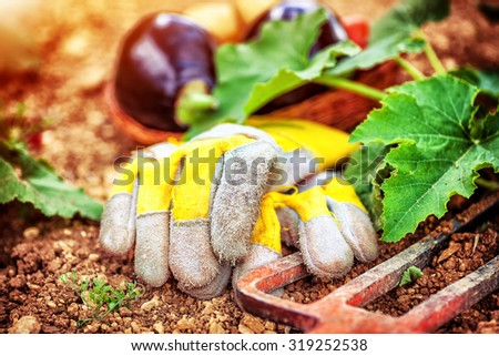 Agricultural still life outdoors, pitchfork and working gloves lying down in the garden on the ground near fresh ripe eggplants,  autumn harvest season  - stock photo