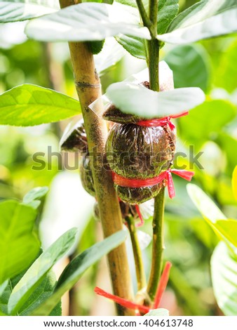 agricultural technique of grafting green lemon branch - stock photo