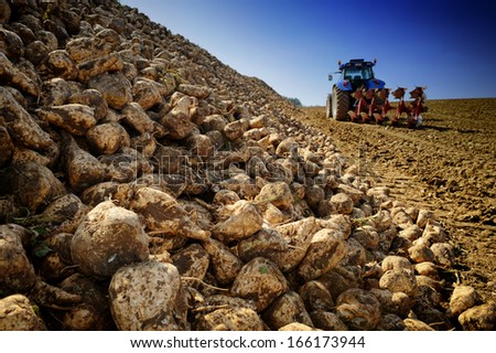 Agricultural vehicle harvesting sugar beet  - stock photo