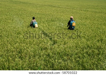 Agricultural workers spraying pesticide in paddy fields.  An Indian farming scene. - stock photo