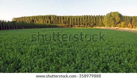 Agriculture alfalfa forage Side hops plantation of poplars and other background  - stock photo