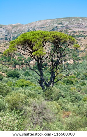 Agriculture and Olive Groves determine the picture on Crete. A beautiful tall tree surrounded by olive trees in the mountains on the south west side of Crete - stock photo