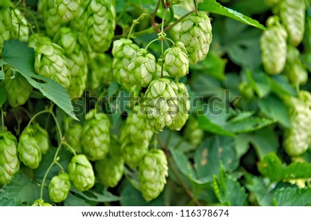 Agriculture Background - crop of fresh ripe hop. - stock photo