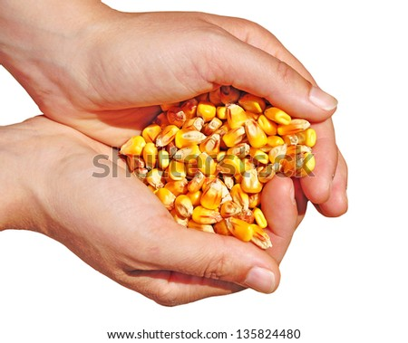 Agriculture, biotech, gm corn commodity - stock photo