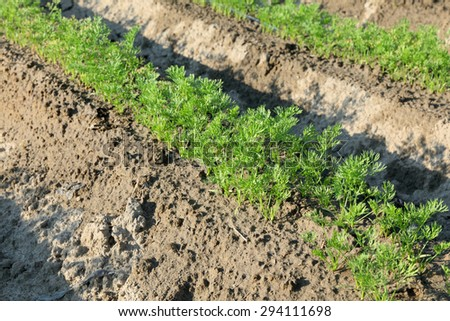 Agriculture, carrot field in early summer, closeup of plant - stock photo