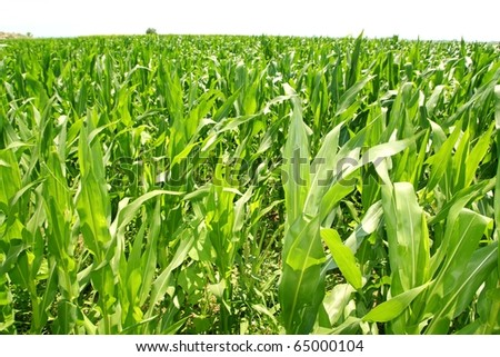 agriculture corn plants field green plantation texture - stock photo