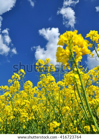 Agriculture crops rapeseed plants - stock photo