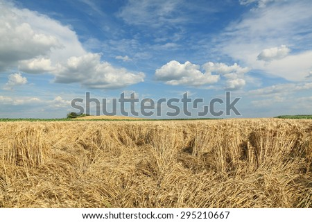 Agriculture, damaged wheat field after storm