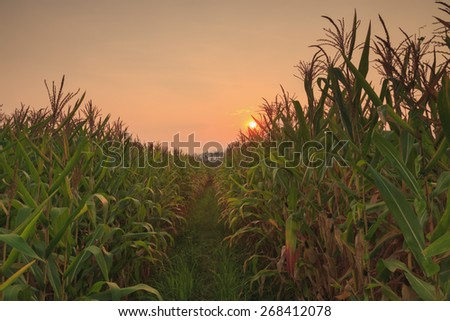 agriculture farm corn area with sunset in countryside evening - stock photo