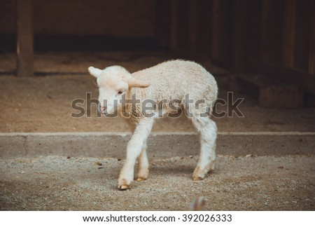 Agriculture. Farm. Country Yard . Barnyard. Cute little white lamb. Wool