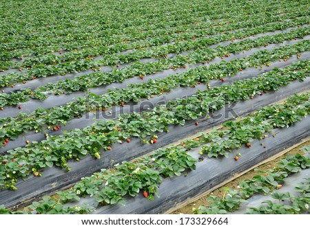 Agriculture farm of strawberry field. - stock photo