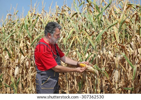Agriculture, farmer or agronomist examine corn plant in field, harvest time