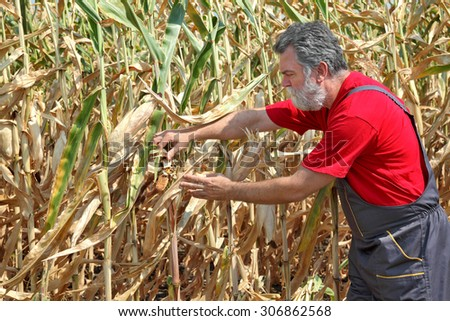 Agriculture, farmer or agronomist examine damaged corn plant in field, harvest time - stock photo