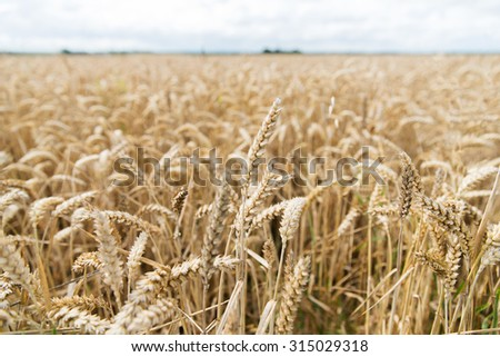 agriculture, farming, cereal and land cultivation concept - field of ripening wheat ears or rye spikes - stock photo