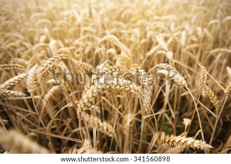 agriculture, farming, cereal , land cultivation and texture concept - field of ripening wheat ears or rye spikes - stock photo