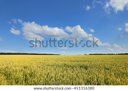 Agriculture field. Landscape with ears of wheat in the bright summer sun and forest line on the horizon. - stock photo