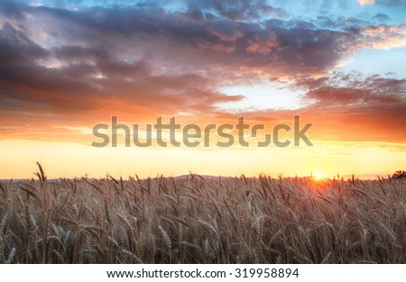 Agriculture, golden field with wheat