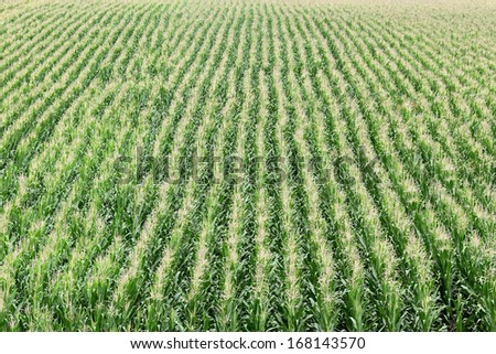 Agriculture, green corn rows in field, early summer - stock photo