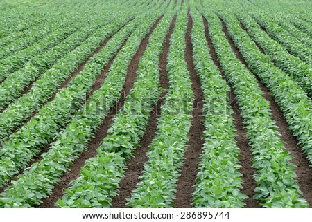 Agriculture, green cultivated soy bean field in early summer - stock photo