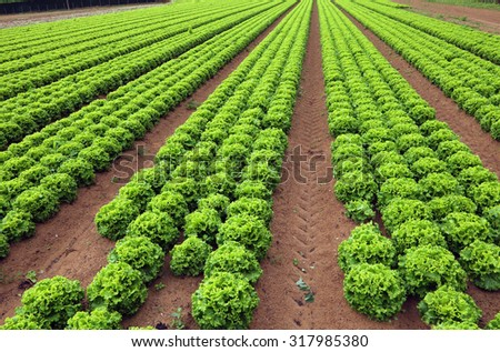 Agriculture: huge field of green lettuce in summer
