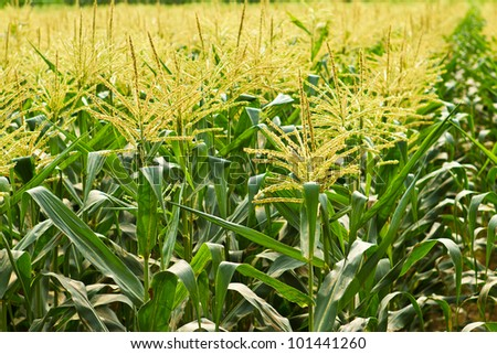 agriculture in countryside of Thailand - stock photo