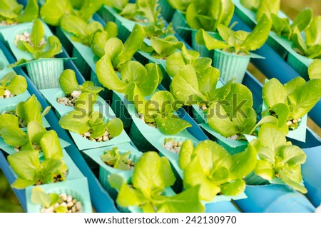 Agriculture Industrial,Salad planting by hydroponic technology