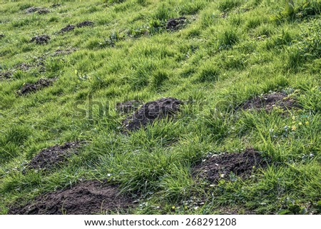 Agriculture molehills problem caused by mole in green meadow grassland  Lawn damaged by moles burrowing underneath soil, copyspace background for your text message - stock photo