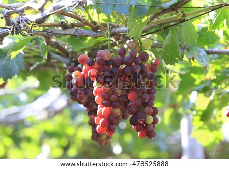 Agriculture product at Phan Rang, Vietnam, bunch of ripe red grape, green leaf in garden