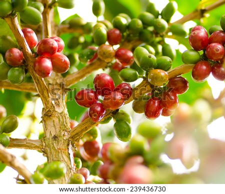 Agriculture,Seed,Coffee berry in Laos crop - stock photo