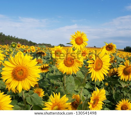 Agriculture stock image - Sunflower field - stock photo