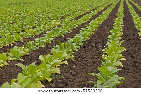 agriculture- tobacco cultivation