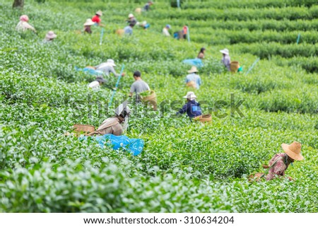 Agriculture was picking tea in the tea plantations. - stock photo