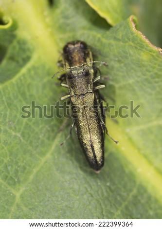 Agrilus, Buprestideae mating on leaf - stock photo