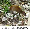 Aguti. Endemic mexican small animal in size with a hare it is very timid, but lives near to people. - stock photo
